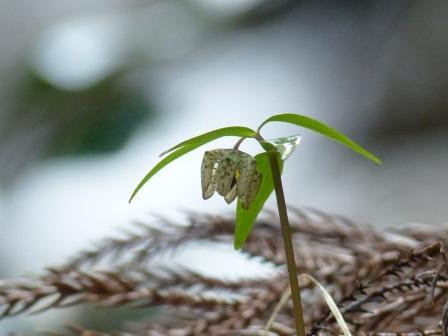 白糸の滝 アワコバイモ 5