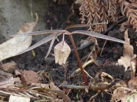 皿ヶ嶺 アワコバイモ 1