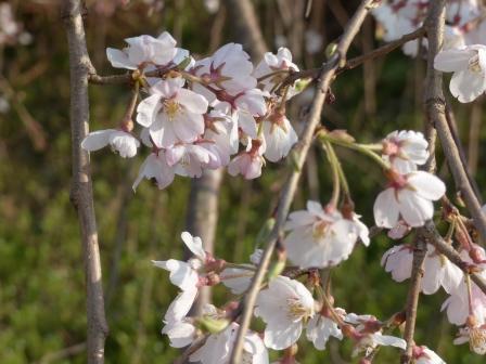 あやめの里 しだれ桜 3