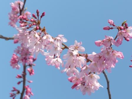 あやめの里 しだれ桜 9
