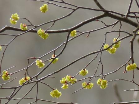 小田深山渓谷 クスノキ科 クロモジ属 の花