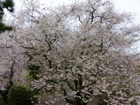 掌禅寺の金龍桜 1