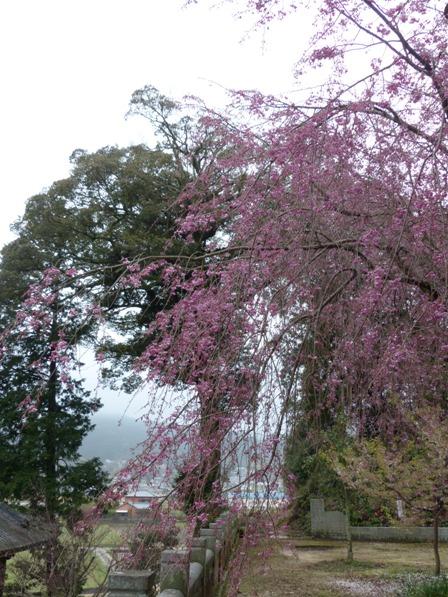 満願寺 八重紅しだれ桜 1