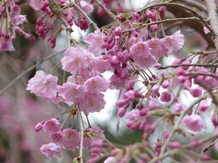 満願寺 八重紅しだれ桜 2