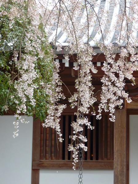 無量寺のしだれ桜 2
