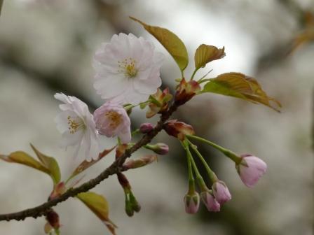 西法寺の薄墨桜 1