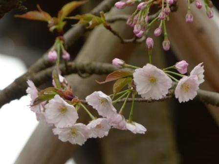 西法寺の薄墨桜 2