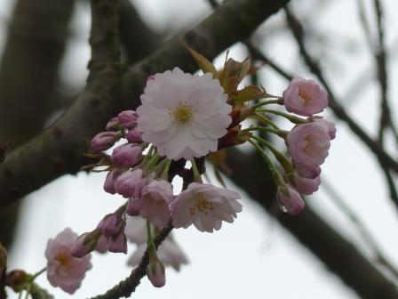 西法寺の薄墨桜 3