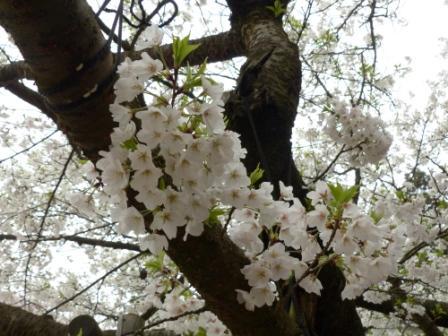 西法寺 大島桜 2