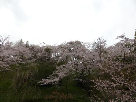 西法寺 ソメイヨシノ 2