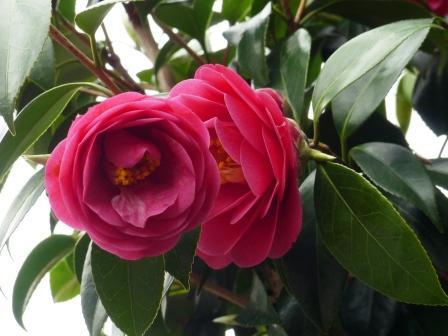 庭の花 椿 2