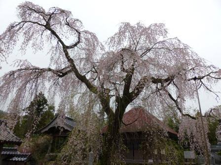 法蓮寺のしだれ桜 2