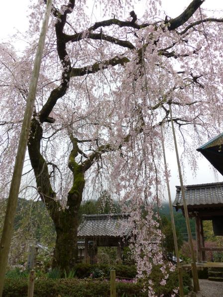 法蓮寺のしだれ桜 3
