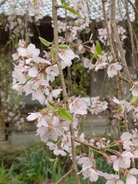 法蓮寺のしだれ桜 4