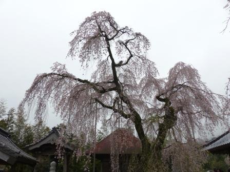 法蓮寺のしだれ桜 1