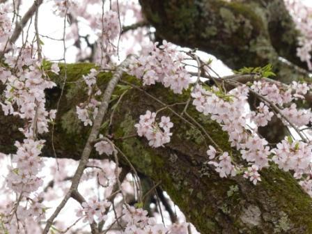 法蓮寺のしだれ桜 5