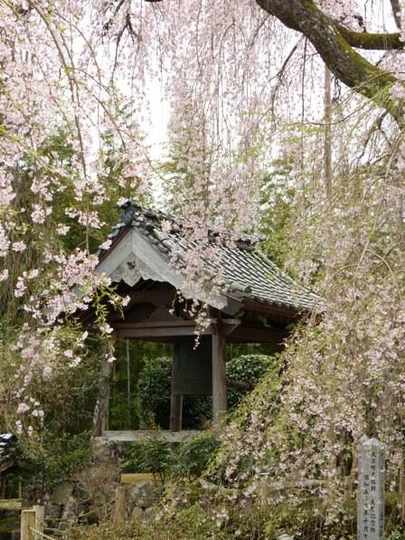 法蓮寺のしだれ桜 6
