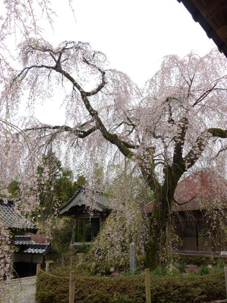法蓮寺のしだれ桜 7