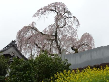 法蓮寺のしだれ桜 8