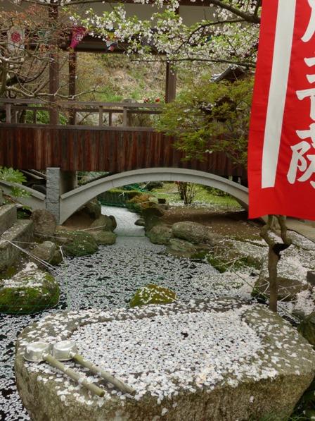 西法寺 散り大島桜