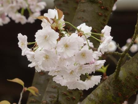 西法寺 薄墨桜 5