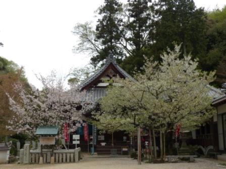 西法寺 薄墨桜 & 大島桜