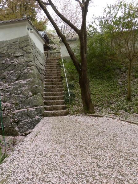 西法寺 散りソメイヨシノ