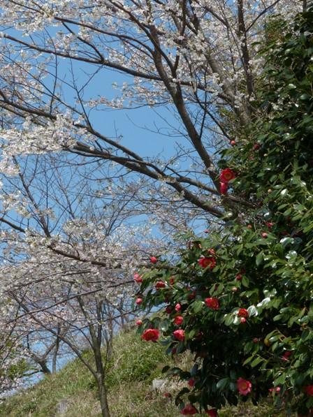 塩ヶ森ふるさと公園 桜 &椿