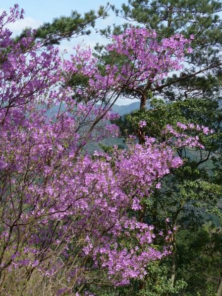 塩ヶ森ふるさと公園 ミツバツツジ 1