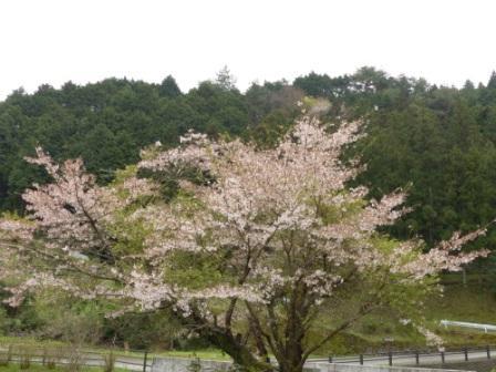 白猪の滝 桜 1