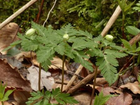 白猪の滝 イチリンソウ の蕾