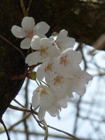 白猪の滝 桜 2