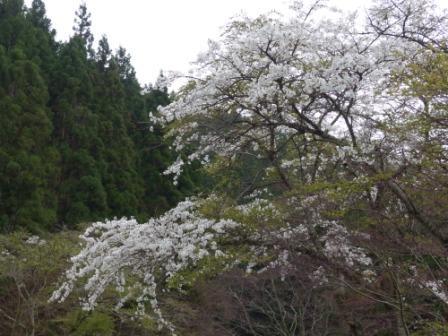 皿ヶ嶺 水の元の桜 (ソメイヨシノ) 1