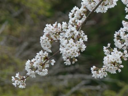 皿ヶ嶺 水の元の桜 (ソメイヨシノ) 2