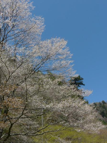小田深山渓谷近辺 桜 1