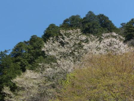 小田深山渓谷近辺 桜 2