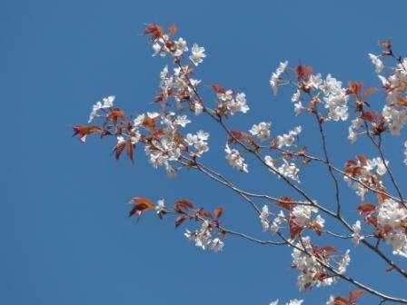 小田深山渓谷近辺 山桜