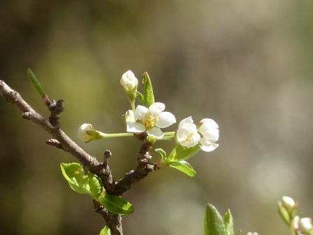 小田深山渓谷近辺 桜の仲間 ? 1
