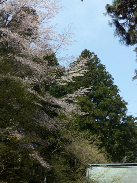 高縄寺 桜