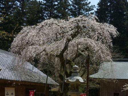 高縄寺 しだれ桜