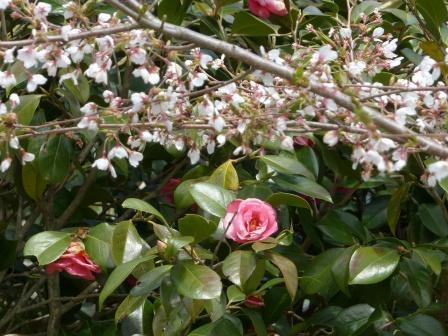 椿 & 桜