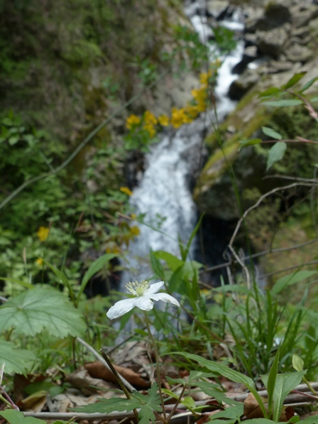 白猪の滝 イチリンソウ 6