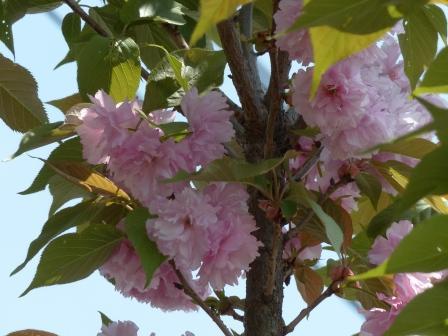 あやめの里 八重桜