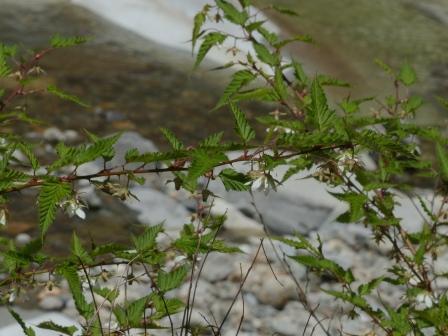 面河渓 ナガバモミジイチゴ 2