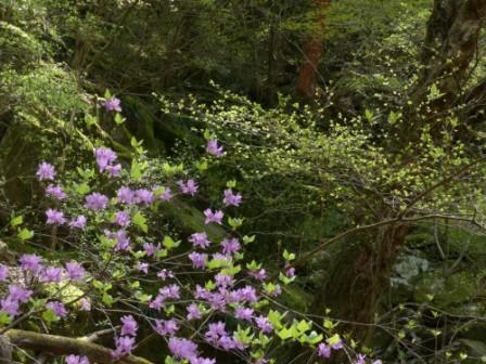 面河渓 ミツバツツジ 3