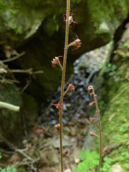 長沢の滝 シコクチャルメルソウ 1