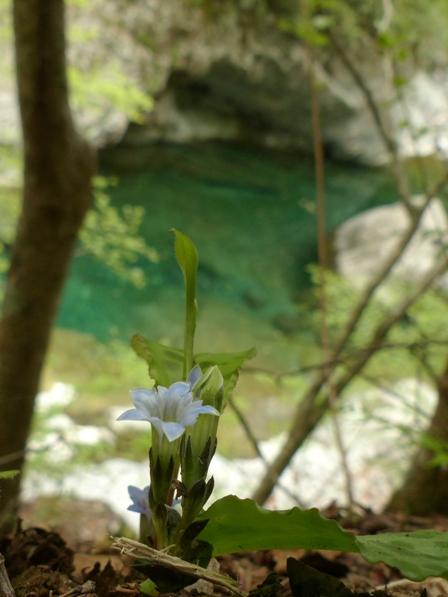 面河渓 フデリンドウ