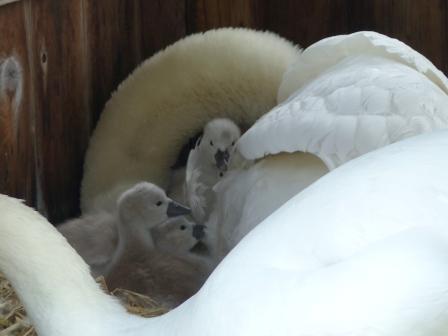 お堀の白鳥のヒナ 2