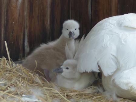 お堀の白鳥のヒナ 3