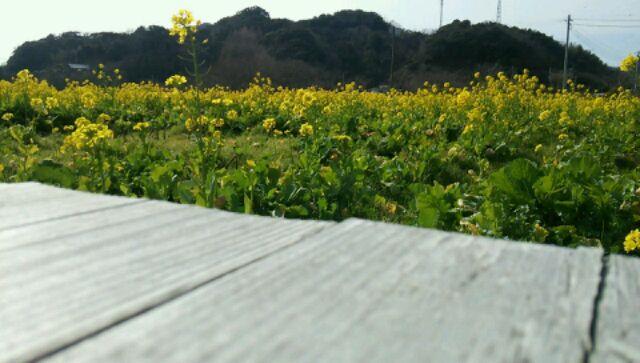 菜の花畑 (5)